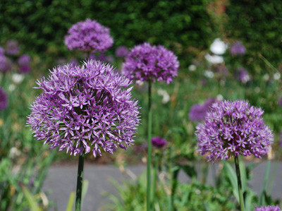 Square garden alliums